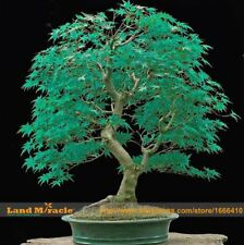 Very Rare American Blue Maple Bonsai 20 Seeds Rare Japanese Maple Tree Seed