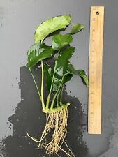 Live Aquatic Plant | Anubias nana | Large | Many Leaves | Florida Grown