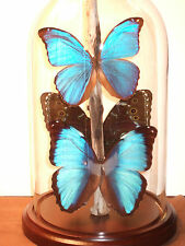 Morpho Butterfly Dome #2
