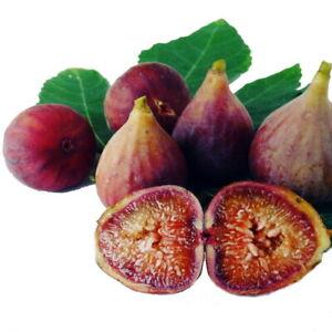 "Little Ruby Edible Fig Plant - Ficus carica - Sweet/Dwarf - 2.5"" Pot"