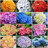 Biennale Mehrjährige Hortensie 50 Samen Blumen für Hausgarten Dekoration