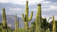 Carnegiea Gigantea (10 SEEDS) Rare Cactus Samen Korn Semi Graine 種子 씨앗 Семена