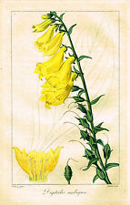 "Bessa's L'Herbier General - ""GREAT YELLOW FOX-GLOVE"" - H-Col'd Engraving -1836"