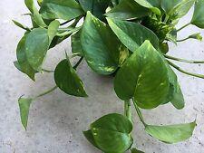 Money Plant /Devil's Ivy /Pothos /Epipremnum Aureum x1 Cutting -- FREE POSTAGE