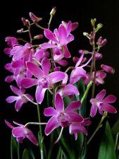 Dendrobium Berry Oda Fragrant flowers Large Plant.