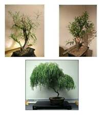 Bonsai Willow Tree Bundle - 3 Rare Bonsai Tree Starts, 1 Dwarf, 1 White, 1 Black