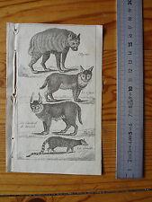 Ancienne Gravure d'animaux  : Hyène, Lynx, Caracal de Bengale, Genette