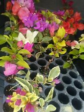 "Bougainvillea mix colors 15 live plants 6""+"