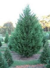 Murray Cypress, 20 plants, upright evergreen plant, plants