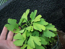 Ginkgo Biloba plant, 1 y.o., oldest tree in the world. Split leaf. Roots wrapped
