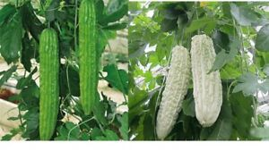 Chinese Green or White Balsam Pear Bitter Melon Seeds Gourd Organic for Diabetes