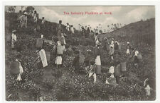 Tea Industry Pluckers at Work in Fields Ceylon Sri Lanka 1910c postcard