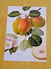 RHS FRUIT & VEGETABLE POSTCARD ~ APPLE 'DUTCH CODLIN' BY WILLIAM HOOKER, 1810