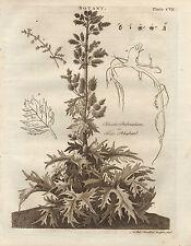 1797 georgiano stampa ~ BOTANICA rheum PALMATUM VERO RABARBARO radice