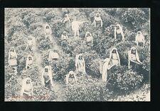 Ceylon Sri Lanka TEA PLUCKERS Women at work c1900/10s? PPC
