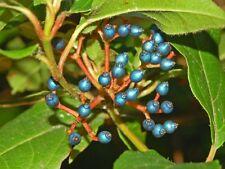 VIBURNUM TINUS -  BEAUTIFUL BLUE BERRIES AND WHITE BLOSSOMS 25 seeds