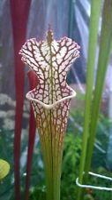 Carnivorous plants - Sarracenia leucophylla x self - 20 fresh seeds 2019