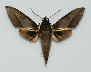 Sphingidae - Theretra gala - male - endemic for North Moluku (Halmahera-Obi Is.)