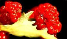 Echter Erdbeerspinat Wunder-Gemüse aus dem Mittelalter