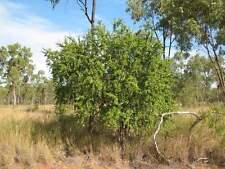 Quinine Berry Seed NO Frost/Drought Native Medicine Petalostigma pubescens