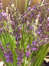 100% Local Fresh Organic Lavender Sachets (bags)