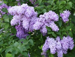 1 Old fashioned Lilac Bush - STARTER PLANT