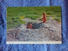Vintage Postcard Animals, Prairie Dogs - Pub. by Goin Company, Sd