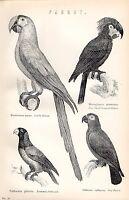 1880 Stampa ~Naturale Storia~ Pappagallo Scarlatto Ara Bonneted Grigio Piccolo