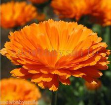 200 Calendula Officinalis Seeds Pot Marigold Golden Orange Garden Flower Herbs