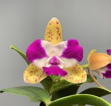Blooming Size - (Cattleya Penny Kuroda `Spots' x Slc. Jungle Gem `Very Nice')