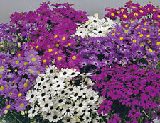 7000 Samen Brachyscome MEHRFARBIG / Blumen