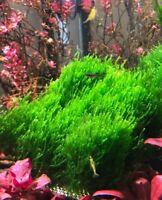 Flame Moss 8cmx8cm Pad
