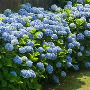 Hydrangea -Hydrangea macrophylla Nikko Blue Plant in 12 cm Pot
