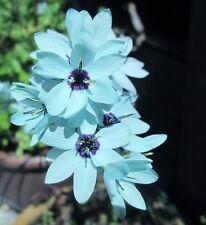 3x Ixia viridiflora Turquoise bulb ( Corn Lily, bulbs garden plant flower