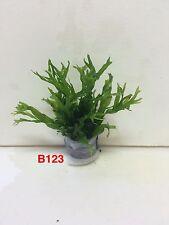 Exotic Live Aquatic Bundle Plant Microsorum pteropus 'Windelov' B123