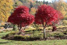 25 Graines Erable pourpre du Japon, Acer palmatum 'Atropurpureum' Seeds