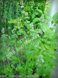 Killer Catnip Seeds! With FREE Instruction Card! Potent Pacific NW Giant Plant!