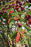 Eine tolle Frucht: die schöne, schwarze Maulbeere mit wertvollen Inhaltsstoffen