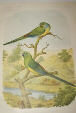 PERRUCHES A CROUPION ROUGE GRAVURE COULEURS 1882 AC11