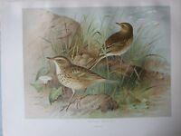 1907 Antico Uccello Stampa ~ Prati Pipit