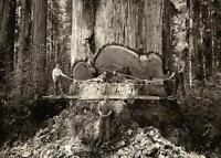 Antique Photo ... Logging California Redwood Tree ... Photo Print 5x7