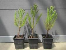 Sequoiadendron giganteum - Riesenmammutbaum Pflanze 25-35cm Frost