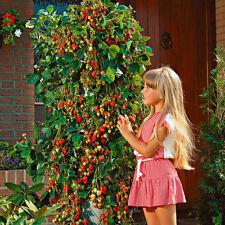 10pcs Red Strawberry Climbing Seeds Strawberry Fruit Plant Seeds Home Garden K15