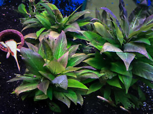 Hygrophila corymbosa - Live Pond/Aquarium Plant - Plant Cutting