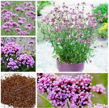 100 Pcs Seeds Verbena Bonsai Plants Verbena Bonariensis Flowers Home Garden NEW