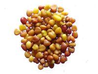 Micro-Trèfle Pipolina - Trifolium Repens - Micro-Clover - ( Engrais Vert - SEM05