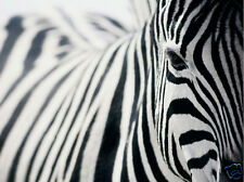 ZEBRA ART *  QUALITY CANVAS PRINT