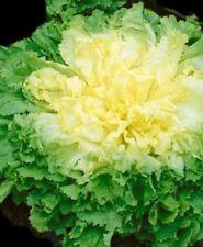 Lettuce, BATAVIAN ENDIVE, 800 Heirloom, Non-gmo, GLUTEN FREE Seeds FREE SHIPPING