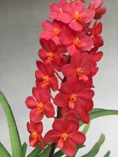 Mini vanda orchid , V. Sagarik Gold X Ascocentrum Curvifolium, Red Compact