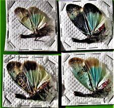 One Very Pretty Lanternfly Planthopper Pyrops clavata mizunumai FAST FROM USA